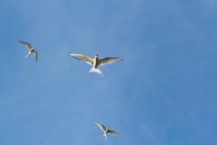 北极燕鸥,胸骨paradisaea 库存照片