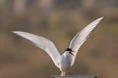 北极燕鸥 免版税库存照片