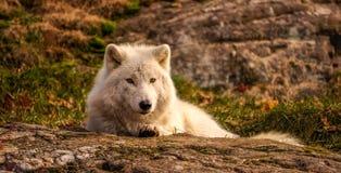北极狼想知道的who& x27; s摄影师,魁北克,加拿大 免版税库存照片
