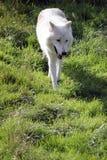 北极狼风景 库存图片