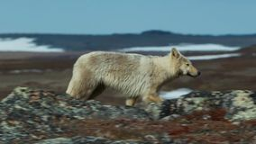 北极狼,狼跑在牧群,设法驱赶出来微弱或慢 北部加拿大 库存照片