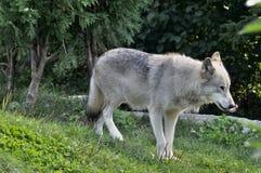 北极狼, 免版税库存照片