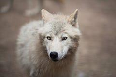 北极狼(天狼犬座arctos)亦称极性狼或白狼 库存照片