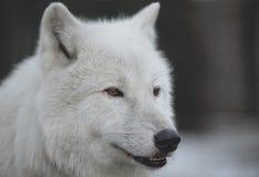北极狼(天狼犬座arctos)亦称 免版税库存照片