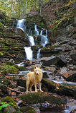 北极狼 免版税图库摄影
