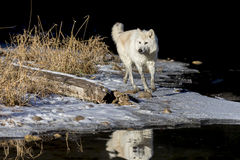 北极狼 库存图片