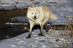 北极狼 图库摄影