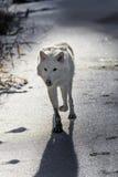 北极狼 免版税库存图片