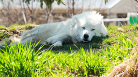 北极狼A 库存图片
