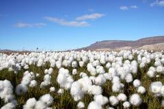 北极羊胡子草场面 库存图片