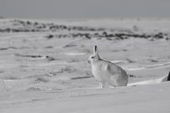 北极野兔天兔座arcticus准备好跳跃,当坐雪和流洒它的冬天时涂上 图库摄影