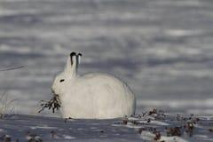 北极野兔天兔座arcticus嚼在亚怀亚特,努纳武特附近的杨柳 免版税图库摄影