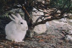 北极野兔 库存照片