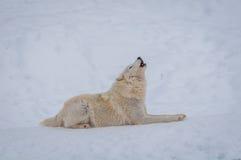 北极雪狼 免版税库存照片