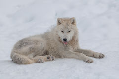 北极雪狼 免版税库存图片