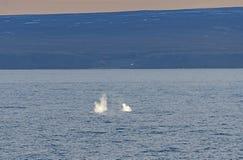 北极露脊鲸喷口在北极 免版税库存图片