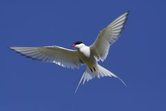 北极飞行燕鸥 库存照片