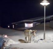 北极驯鹿和灯岗位 免版税库存图片