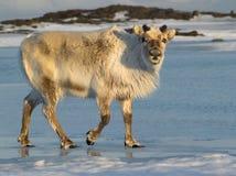 北极驯鹿斯瓦尔巴特群岛 免版税库存照片
