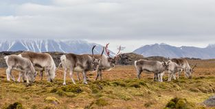 北极驯鹿牧群  免版税图库摄影