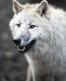 北极arctos天狼犬座狼 图库摄影