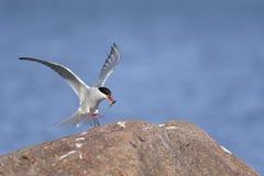 北极paradisaea胸骨燕鸥 免版税库存图片