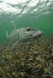 北梭鱼 免版税图库摄影