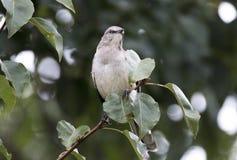 北模仿鸟在布雷得佛洋梨树,乔治亚栖息 免版税库存图片