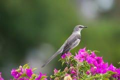 北模仿鸟(Mimus polyglottos) 库存图片