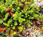 北欧植物岩高兰用莓果 免版税库存照片
