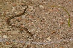 北水蛇在湖 库存图片
