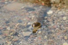 北水蛇游泳在湖-储蓄图象 免版税库存图片