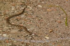 北水蛇游泳在湖-储蓄图象 库存照片