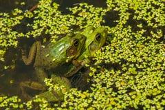北池蛙 库存照片