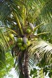 从北泰国的椰子树 免版税库存照片