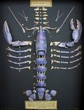 北海被分割和被显示的龙虾壳 免版税库存照片