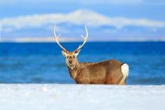 北海道sika鹿,鹿日本yesoensis,在与深蓝海的海岸,冬天山在背景中,与antl的动物 库存图片