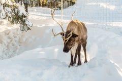 北温哥华区加拿大- 2017年12月30日:在一个冬天风景的驯鹿在松鸡山 图库摄影