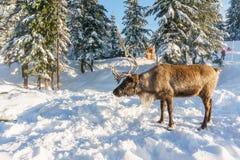 北温哥华区加拿大- 2017年12月30日:在一个冬天风景的驯鹿在松鸡山 库存图片