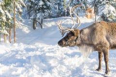 北温哥华区加拿大- 2017年12月30日:在一个冬天风景的驯鹿在松鸡山 免版税库存图片