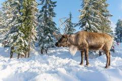 北温哥华区加拿大- 2017年12月30日:在一个冬天风景的驯鹿在松鸡山 库存照片