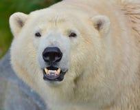 北熊的画象在维也纳动物园里 库存图片
