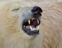 北熊的画象在维也纳动物园里 免版税库存照片