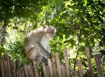 北猪被盯梢的短尾猿(猕猴属leonina)在泰国 免版税图库摄影