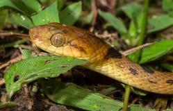 北猫目的蛇 免版税库存照片