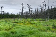 北生长沼泽和云杉的森林  免版税库存图片