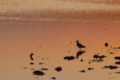 北田凫、欧亚田凫类欧亚田凫类或者pewit在日落在水中 库存照片