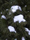 北白扁柏和雪 库存图片
