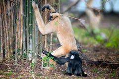 北白色的母亲和儿子cheeked长臂猿Nomascus leucogenys 免版税库存照片