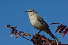 北的模仿鸟 库存照片